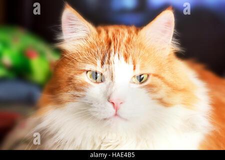 Porträt von luxuriösen Erwachsenen große rote Katze - Stockfoto