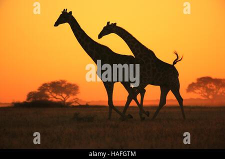 Giraffe Galopp - afrikanische Tierwelt Silhouette - Sonnenuntergang Wunder in der Natur - Stockfoto