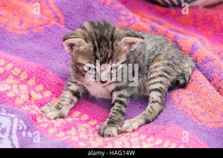 Liebenswert und schläfrig Tabby kitten - Stockfoto