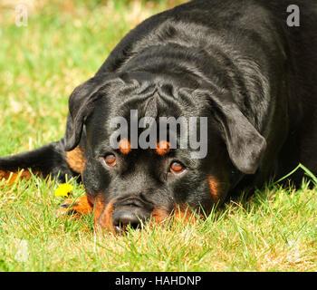 Rottweiler UK - Stockfoto