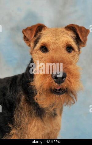 Welsh terrier - Stockfoto