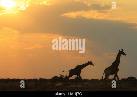 Giraffe Silhouette - afrikanische Tierwelt Hintergrund - galopp von Farbe und Schönheit in der Natur - Stockfoto