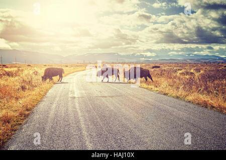 Retro getönten Herde Bisons (Bison Bison) Kreuzung Straße im Grand Teton National Park bei Sonnenaufgang, Wyoming, - Stockfoto