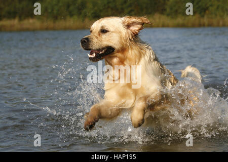Golden Retriever Hund - Stockfoto