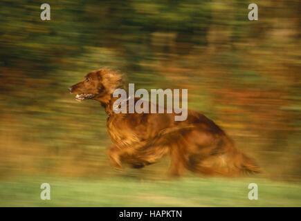 Irischer Setter / Irish Red Setter / Red Setter - Stockfoto