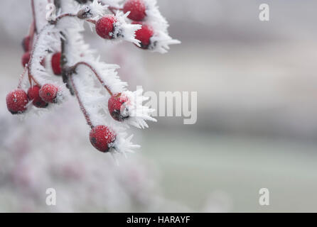 Crataegus Monogyna. Weißdornbeeren im Winter in Frost bedeckt. Schottland - Stockfoto