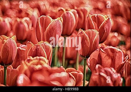 Rote Tulpen - Stockfoto