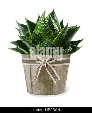 Aloe Vera Pflanze in Vase isoliert auf weiss Stockfoto
