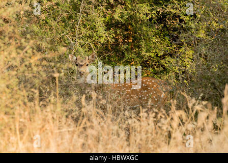 Hirsch (Axis Axis), entdeckt Keoladeo Ghana Nationalpark, Bharatpur, Rajasthan, Indien - Stockfoto