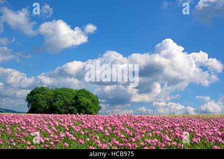 Schlafmohn (Papaver Somniferum) Feld mit Baumgruppe gegen blauen Himmel und Cumulus Wolken (Cumulus), Hessen, Deutschland - Stockfoto