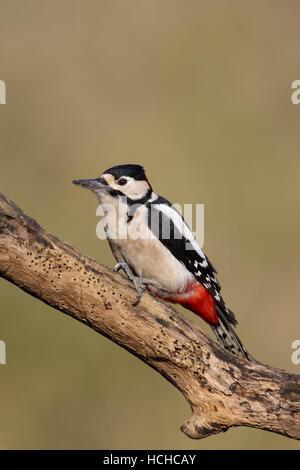Großer Gefleckter Specht Dendrocopos, die großen männlichen Vogel auf einem abgestorbenen Baum Ast sitzend - Stockfoto