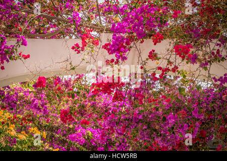 Lila, roten und gelben Blüten wachsen auf eines der Häuser in Puerto de Mogan, Gran Canaria, Spanien - Stockfoto
