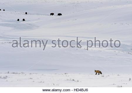 Eine Rotfuchs bewegt sich auf der Jagd, während eine Herde Bisons grasen in den Hintergrund. - Stockfoto