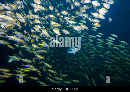 Räuber und Beute unter Wasser, eine große Makrelen jagen in unter einer Schule der Füsiliere. Schule Verhalten. - Stockfoto