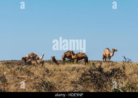 Tierwelt Camel Essen Landschaft in Oman Salalah Arabisch 10 - Stockfoto