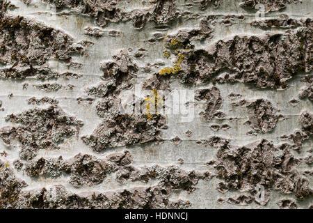 Silber-Pappel Silberpappel, Pappel, Rinde, Borke, Stamm, Populus Alba, Silberpappel, Rinde, Schale - Stockfoto