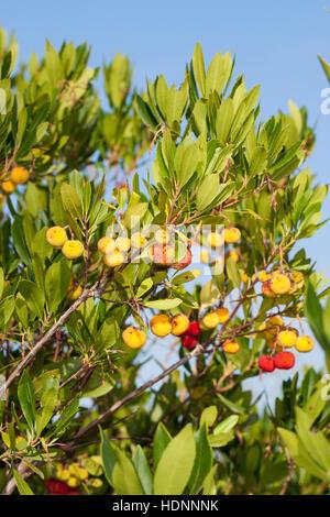Westlicher Erdbeerbaum, Erdbeer-Baum, Früchte, Arbutus Madrid, Erdbeerbaum, Arbousier Commun - Stockfoto