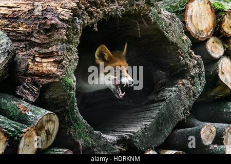 Rotfuchs (Vulpes Vulpes) in hohlen Baumstamm im Holzstapel im Wald Stockfoto