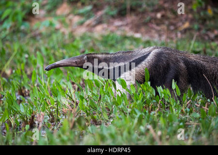 Großer Ameisenbär (Myrmecophaga Tridactyla) trinken aus Teich mit Lilien; Mato Grosso do Sul, Brasilien - Stockfoto