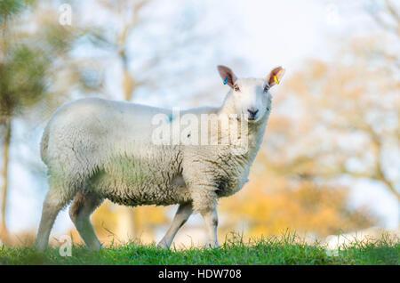Weißen konfrontiert Ewe in Herefordshire UK Landschaft - Stockfoto