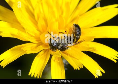 Spined Mauerbiene (Osmia Spinulosa) Erwachsenfrau Fütterung in einer Hawkbit Blume. South Downs, Sussex, England. - Stockfoto