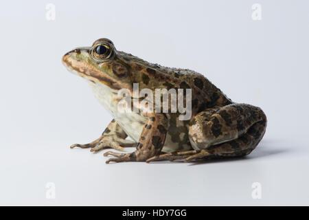 Frosch auf klaren weißen Hintergrund - Stockfoto