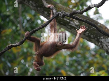 Bornean Orang-Utans (Pongo Pygmaeus) Baby spielt in einem Baum, Zoo Singapur, Singapur, Asien - Stockfoto