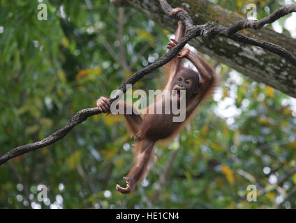 Bornean Orang-Utans (Pongo Pygmaeus), baby-spielen in einem Baum, der Zoo von Singapur, Singapur, Asien - Stockfoto