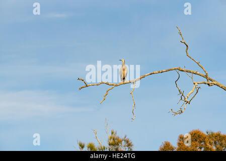 White-faced Heron (Egretta novaehollandiae) oder White Fronted Reiher sitzt auf dem Zweig eines toten Baum in einer - Stockfoto