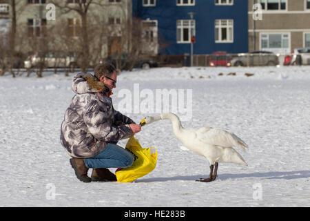 Mann Fütterung Singschwan (Cygnus Cygnus) von Hand auf zugefrorenen See im Stadtpark im winter - Stockfoto
