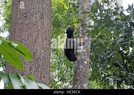 Sun Bear, Helarctos Malayanus, (captive) fotografierte Bornean Sun Bear Conservation Centre Sandakan - Stockfoto
