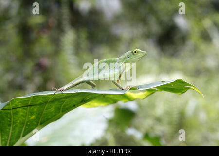 Grün Crested Eidechse, Bronchocela cristatella