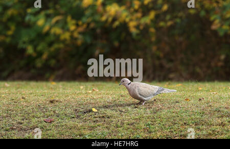 Eurasian Collared Dove (Streptopelia Decaocto) - Stockfoto