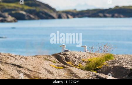 Zwei europäische Silbermöwen sitzt auf einem Felsen, Braastad, Lofoten Inseln, Norwegen Stockfoto