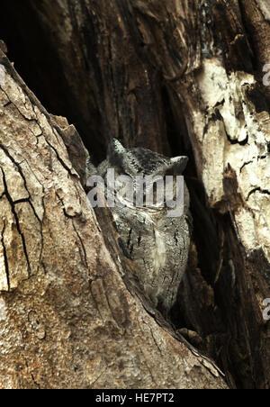 Die Eule indische Zwergohreule (Otus Bakkamoena) ist ein ansässigen Arten Eule gefunden in den südlichen Regionen - Stockfoto