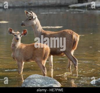 Sambar Hirsche Weibchen und Jungtier stehend im Wasser, Ranthambore Nationalpark in Rajasthan, Indien - Stockfoto