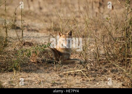 Indische Schakale, Canis Aureus Indicus. Schakale auf staubigen im bunten Morgenlicht, starrte direkt in die Kamera. - Stockfoto