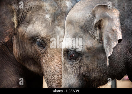 Köpfe der asiatischen Elefanten - Stockfoto