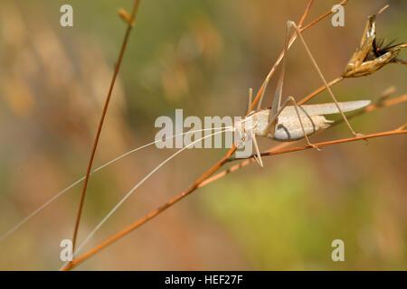 Nahaufnahme der Grashüpfer auf dem Rasen von Profil gesehen - Stockfoto