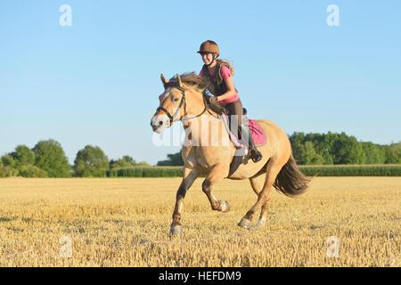 Junger Fahrer tragen einen Körperschutz auf Rückseite ein norwegischer Fjord Pferd Trab in einem Stoppelfeld - Stockfoto