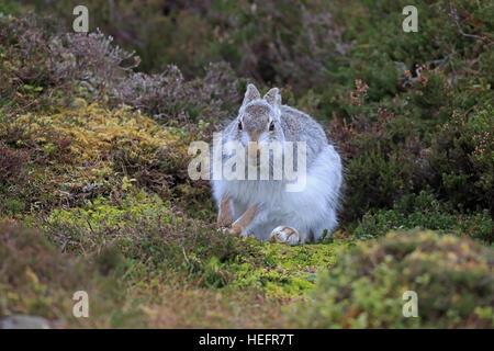 Schneehase im Wintermantel auf einem schottischen Moor - Stockfoto