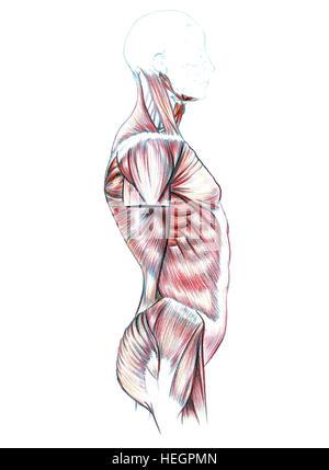 Muskeln von Hals, Schultern, Brust und Bauch, Hand gezeichnete ...