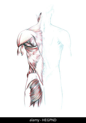 Muskeln von Rücken, handgezeichnete medizinische Illustration ...