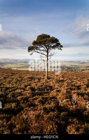 Einsamer Scots Kiefer auf dem Moor über Hepburn mit Blick auf die Felder und fernen Cheviot Hills in Northumberland - Stockfoto