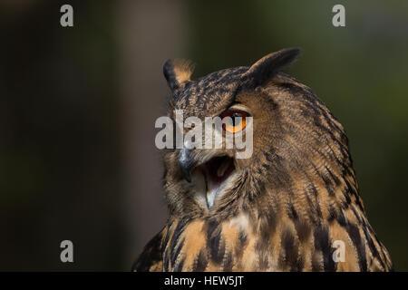 Eurasische Adler-Eule am Center for Birds Of Prey 15. November 2015 in Awendaw, SC. - Stockfoto