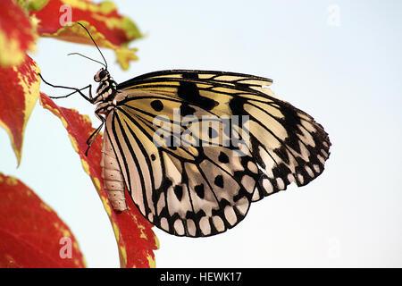 Ein Papier Drachen Schmetterling auf Blumen das schöne Papier Rotmilan oder große Wood Nymph Nektar aus einer Blume - Stockfoto
