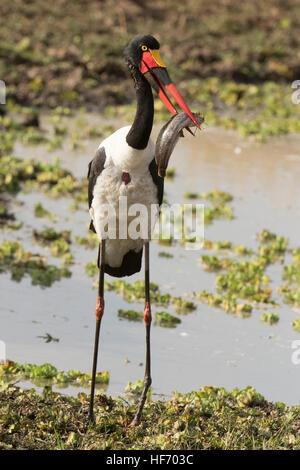 Sattel in Rechnung Storch mit Wels - Stockfoto