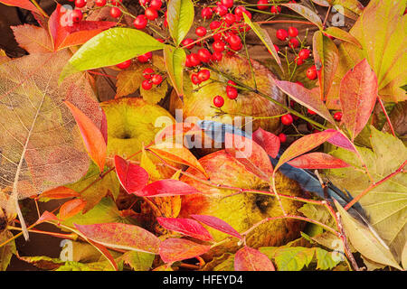 Herbst-Farbe-Still-Leben.  Äpfel, himmlischer Bambus, Bluebery, Ass Ahorn, Vine Maple. - Stockfoto