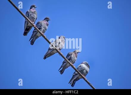 Fünf Rock Tauben, Columba Livia, Barsch auf eine obenliegende Telefon-Draht. - Stockfoto