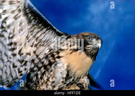 Erwachsenen fliegen rot - angebundener Falke, Buteo Jamaicensis, zeigt markante Unterbauch Färbung und bunten Federn. - Stockfoto